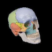 Skelet model