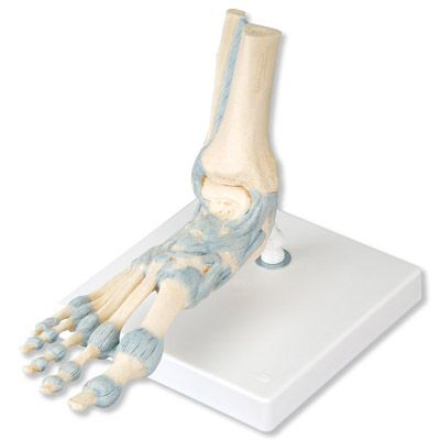 Modèle de squelette du pied avec ligaments M34 3B Scientific