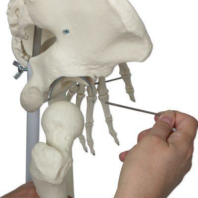 Menselijk skelet model Stan, op het bekken gemonteerd op een 5-sterren-voetstuk A10