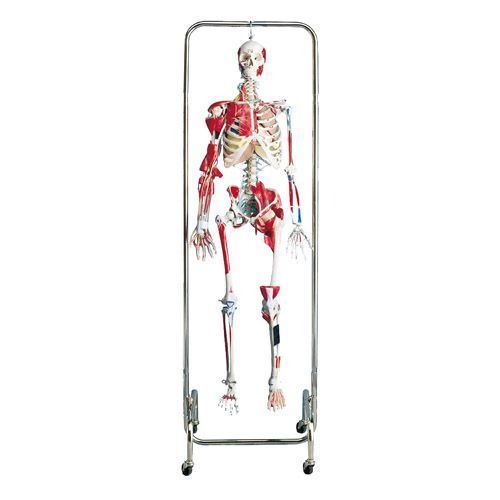 Fysiotherapie Skelet W47001
