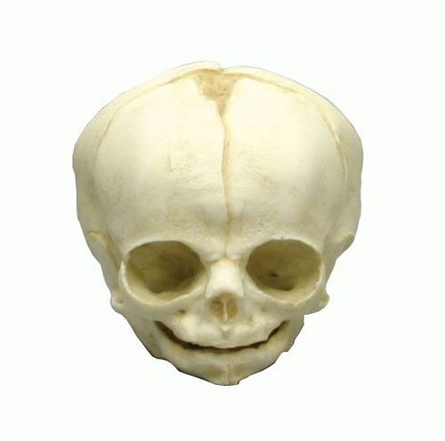 Crâne de fœtus à 30 semaines de grossesse Erler Zimmer