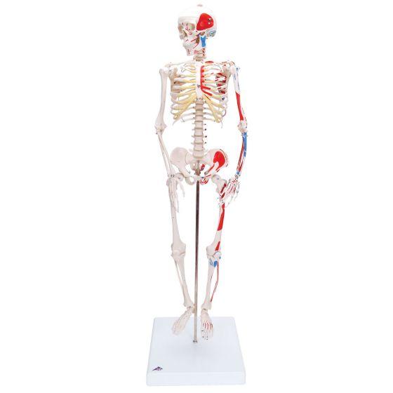 Mini Skelet - Shorty - op een standaard met geverfde spier insertie en oorsprong A18/5