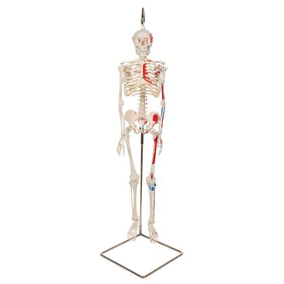 Mini Skeleton - Shorty - Hangend met geverfde spieren A18/6