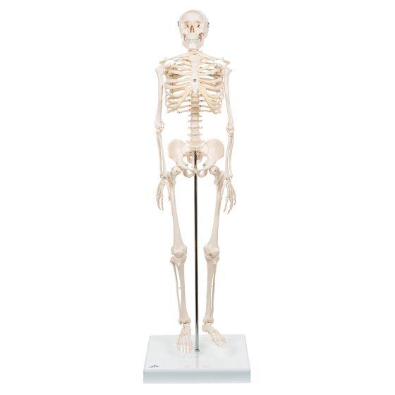 Mini Skelet - Shorty - op een standaard A18