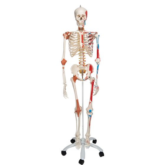 Deluxe Menselijk Skelet Sam, flexibel met spieren en ligamenten, bekken A13
