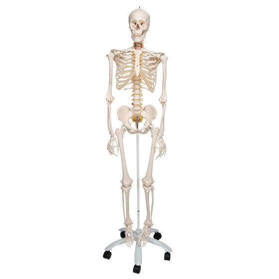Flexibel Menselijk Skelet Fred, met draad gemonteerde voeten en handen A15