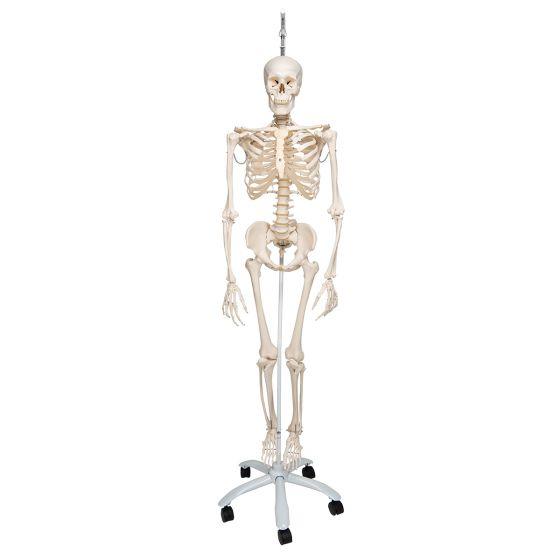 Functional Human Skeleton, A15/3