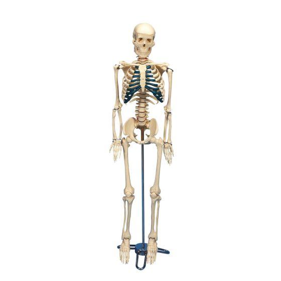 Desktop Skelet W33000